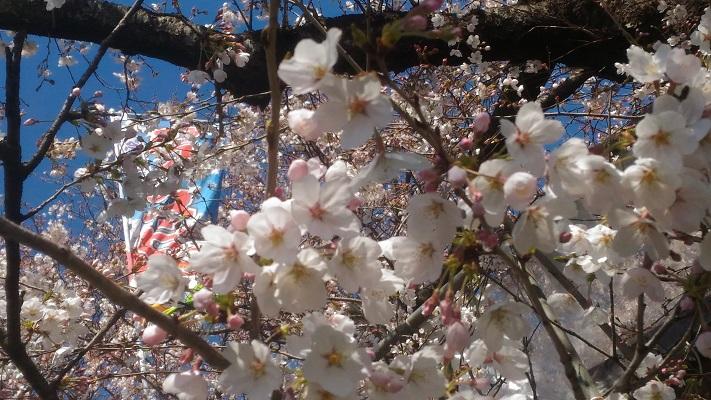 桜の状況まだ八分咲き