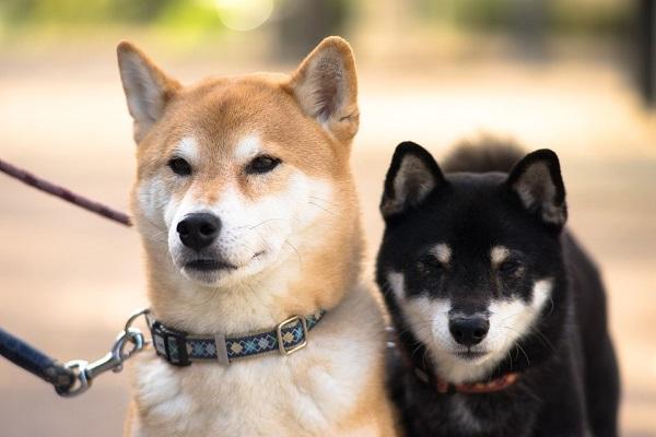 柴犬の画像