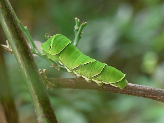 アゲハチョウ幼虫