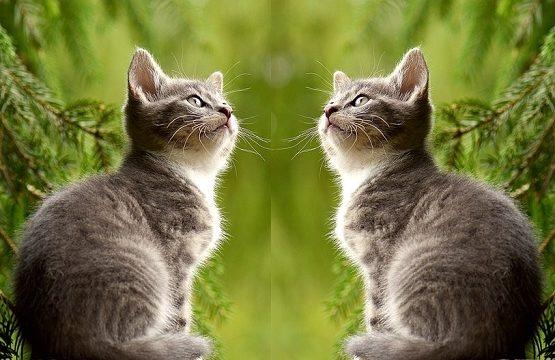 クローン猫