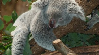 コアラの睡眠