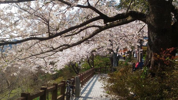 謙信平の桜