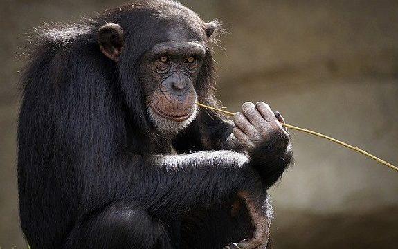 猿、チンパンジー